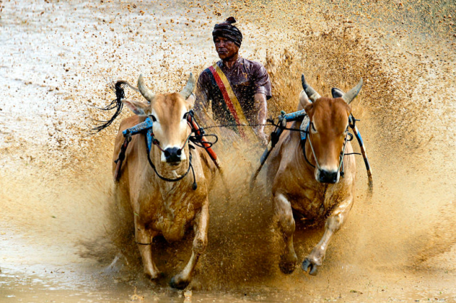 The traditional Pacu Jawi cattle race of Tanah Danar ( Indonesia) is a highly appreciated subject by photographers. Every year after the harvest men tie two animals together and race them through therice fields to demonstrate their power and also their own masculinity. ©DPA